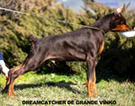 Euro doberman Puppies for sale USA